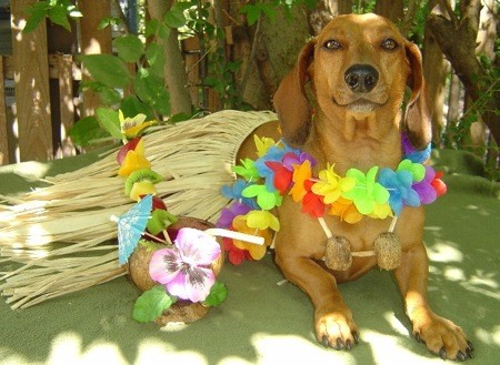 http://www.hope-dachs.com/Doxie%20in%20grass%20skirt.jpg